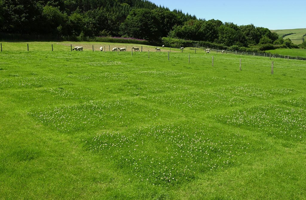 White clover grazing plots